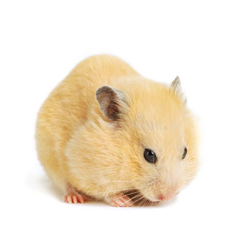 Funny hamster eats royalty free stock photos