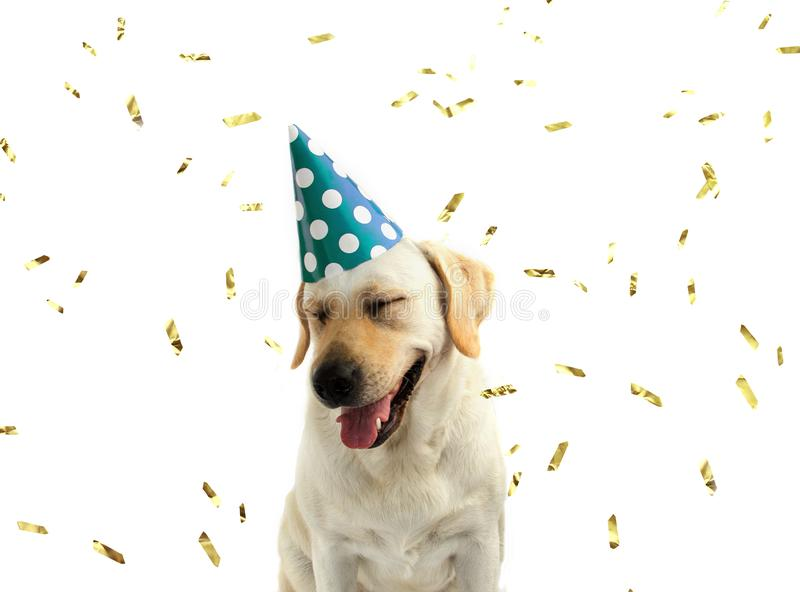 FUNNY AND HAPPY DOG CELEBRATING A BIRTHDAY OR NEW YEAR WITH A GR stock image