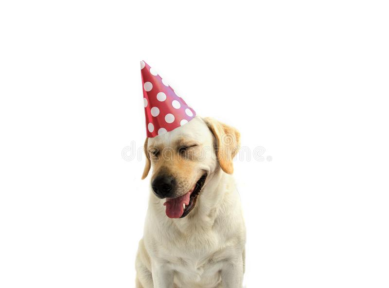 FUNNY AND HAPPY DOG CELEBRATING A BIRTHDAY OR NEW YEAR WITH A GREEN AND WHITE POLKA DOT PARTY HAT. ISOLATED AGAINST WHITE royalty free stock photography