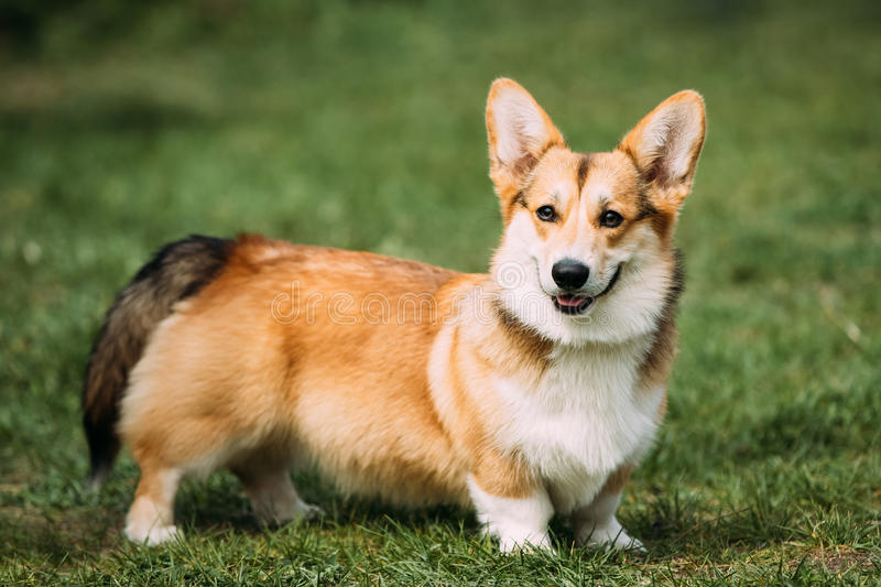 Funny Happy Pembroke Welsh Corgi Dog Playing In Green Summer Grass stock image