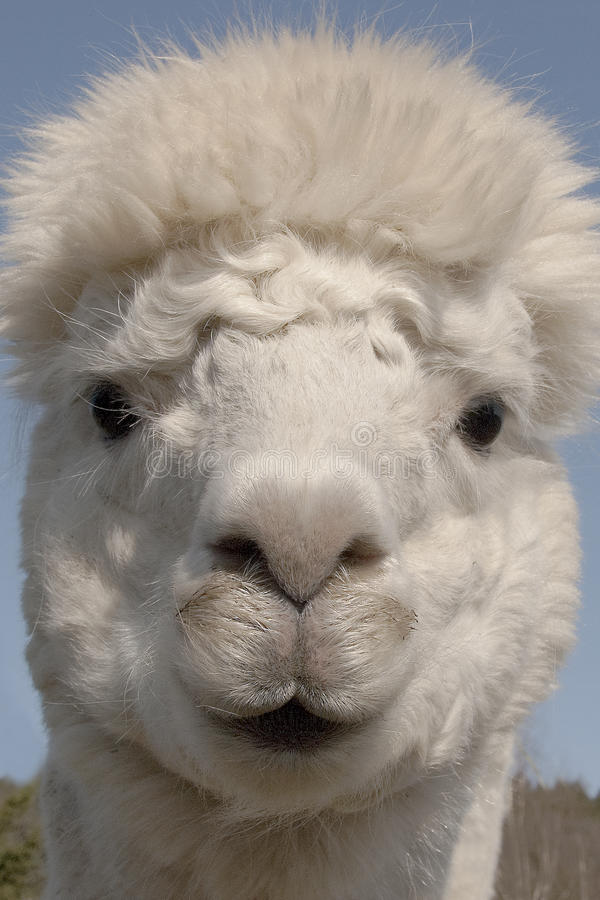 Funny head of alpaca. Origin of south america, there are several colors, the wool is one of the warmest that is. Domestic mammal of the camelidae family would royalty free stock photography