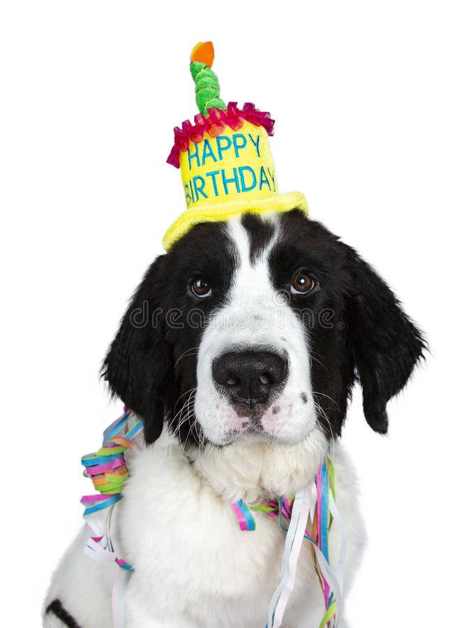 Funny head shot of black and white Landseer pup dog wearing birthday party hat and garlands isolated on white background looking a royalty free stock images