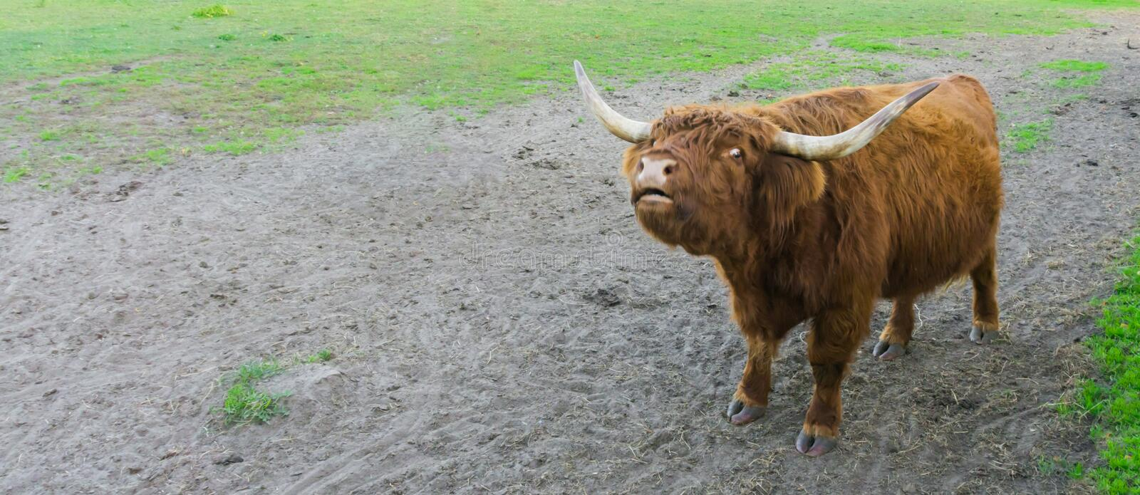 Funny highland cow squinting its eyes, animal making a funny face. A funny highland cow squinting its eyes, animal making a funny face stock photos