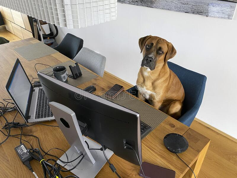 Funny Home Office. Dog with headphone watching pc screen - a funny kind of home office working stock photos