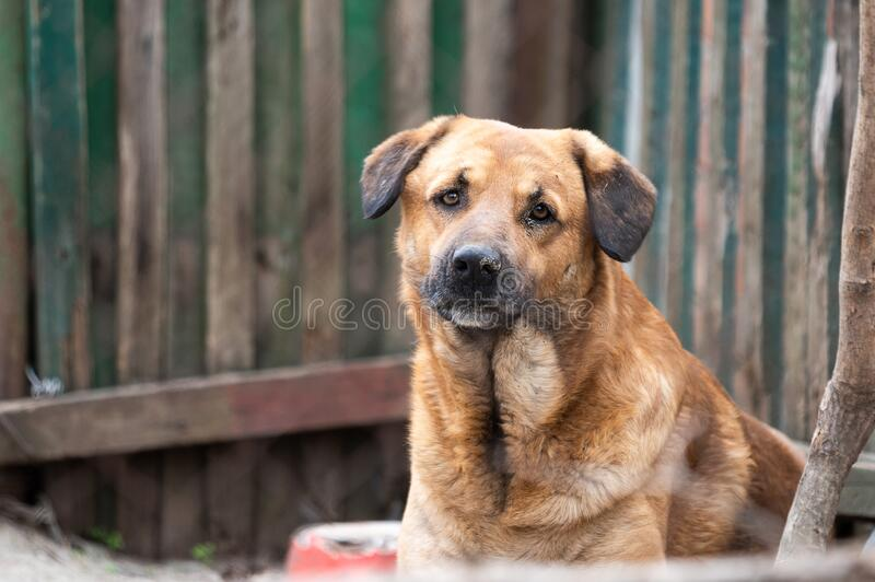 Funny homeless brown dog with sad eyes and black ears. Big soft yeps outdoors without a collar royalty free stock photos