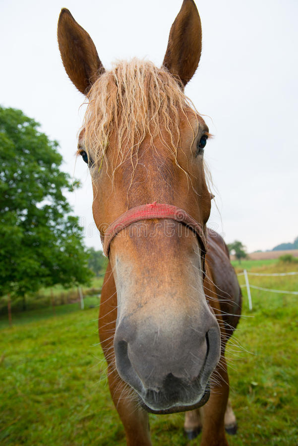 Funny horse. Is looking in to the camera royalty free stock photography