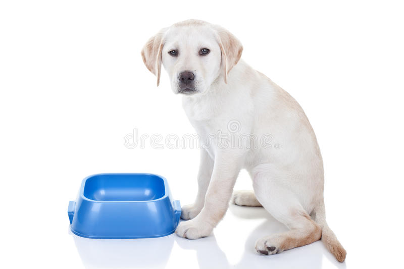 Funny Dog Food. Funny hungry Labrador retriever puppy dog gives annoyed face since no food in empty bowl royalty free stock photography