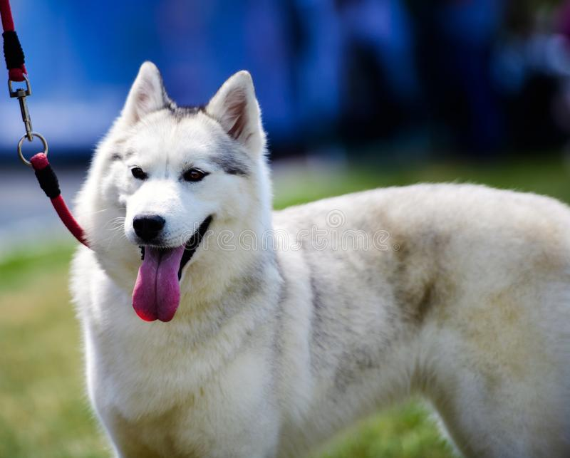 Funny husky dog with his tongue hanging out. Adorable, animal, background, beautiful, blue, breed, canine, cute, dogs, domestic, face, friend, happy, humor royalty free stock images