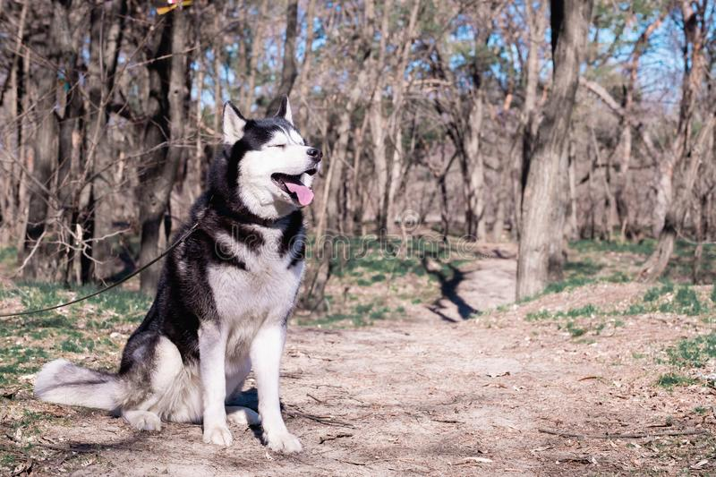Funny Husky dog laughs and shows tongue, a cunning dog with eyes closed, a pleased one Malamute sits on the ground in the forest, stock photos