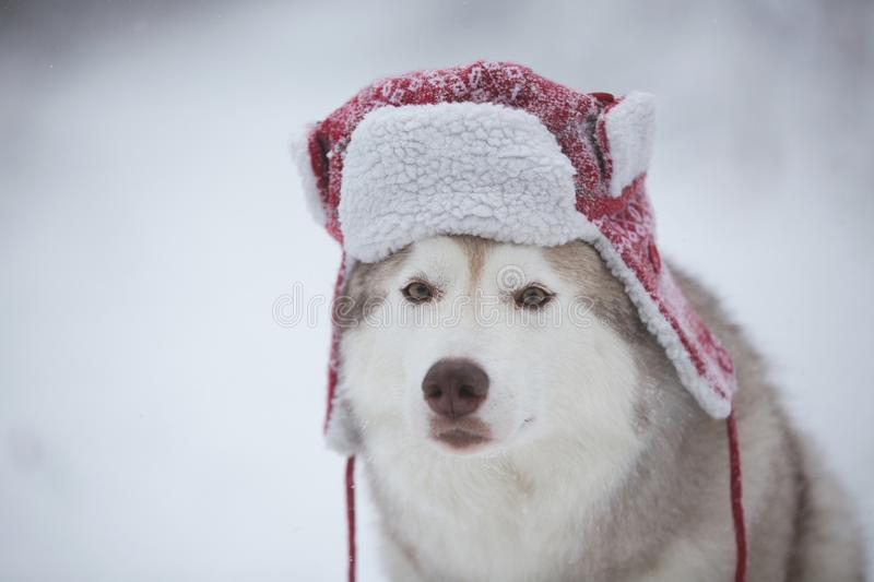 Funny husky dog is in red warm hat. Close-up portrait of cute dog breed siberian husky is on the snow in winter forest royalty free stock image