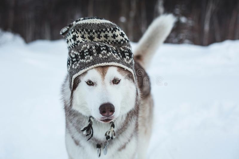 Funny husky dog is in wool hat. Close-up portrait of lovely dog breed siberian husky is on the snow in winter forest stock photo