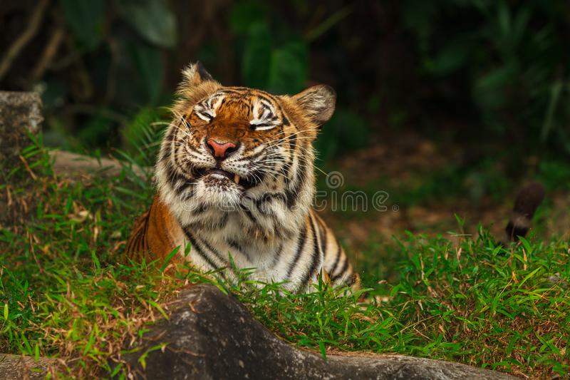 Funny tiger face stock image