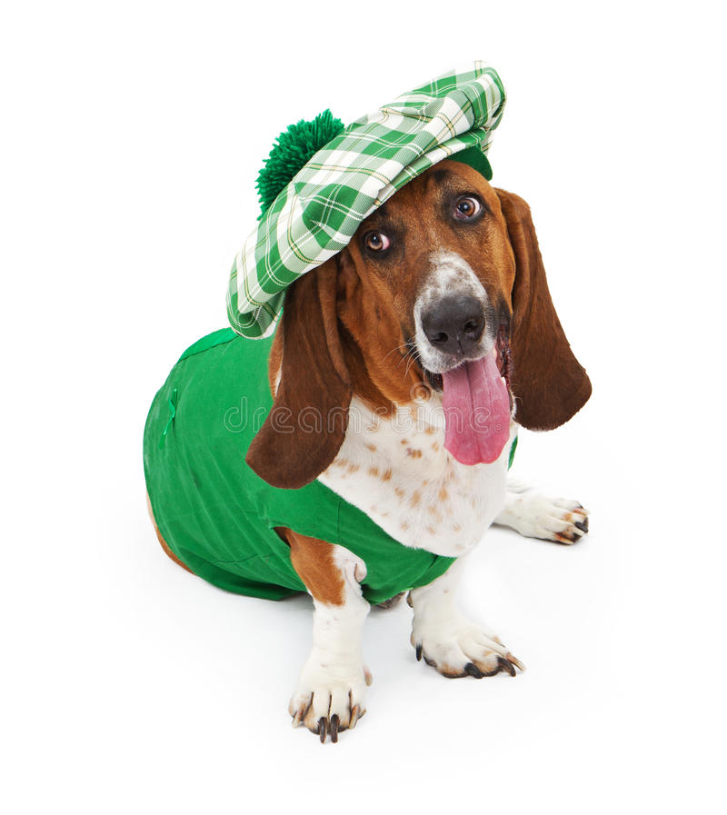 Funny Irish Basset Hound Dog. A funny Basset Hound dog dressed for St Patrick's Day with a green outfit and hat royalty free stock photography