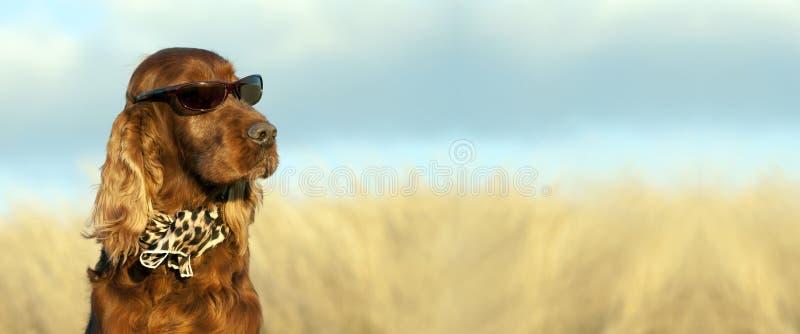Funny Irish dog banner stock photo