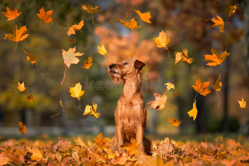 Funny irish terrier dog with maple leaves falling in the park stock image