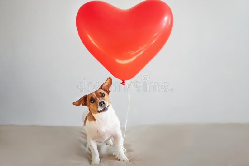 Funny Jack russell dog with heart balloons. Valentines day concept. royalty free stock photos