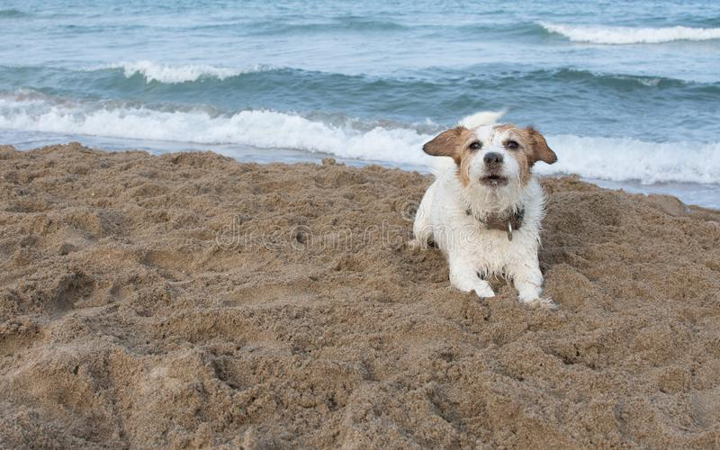FUNNY JACK RUSSELL DOG WITH SAND ON NOSE AND FACE AT THE BEACH O stock images