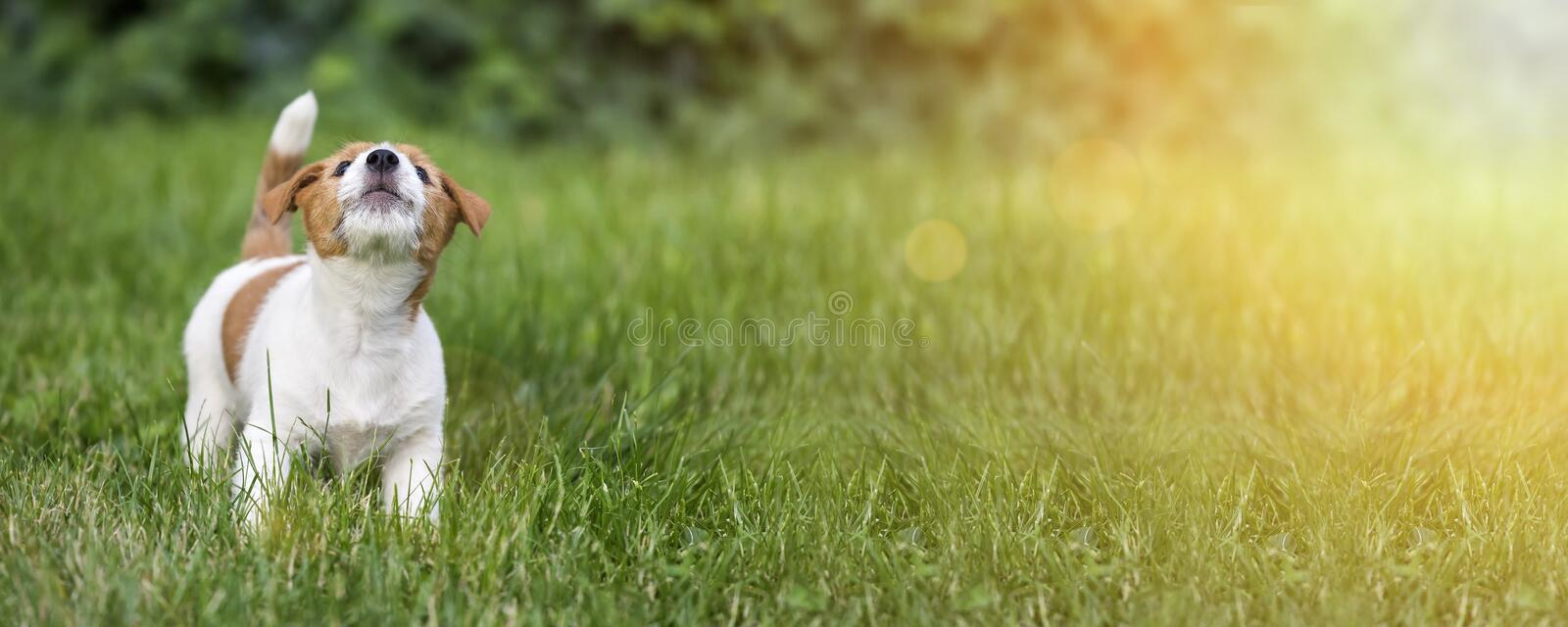 Dog puppy howling in the grass. Funny Jack Russell terrier dog puppy howling in the grass - web banner idea royalty free stock photos