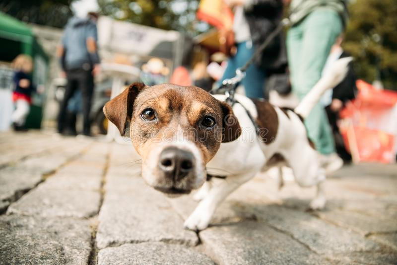 Funny Jack Russell Terrier Dog Walks Down Street On A Leash. Dog stock photo