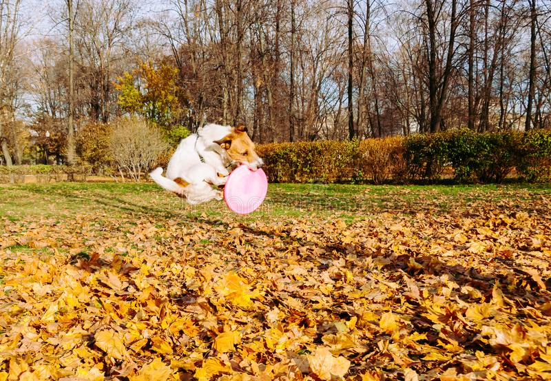 Funny jump of dog catching pink flying disc stock photography