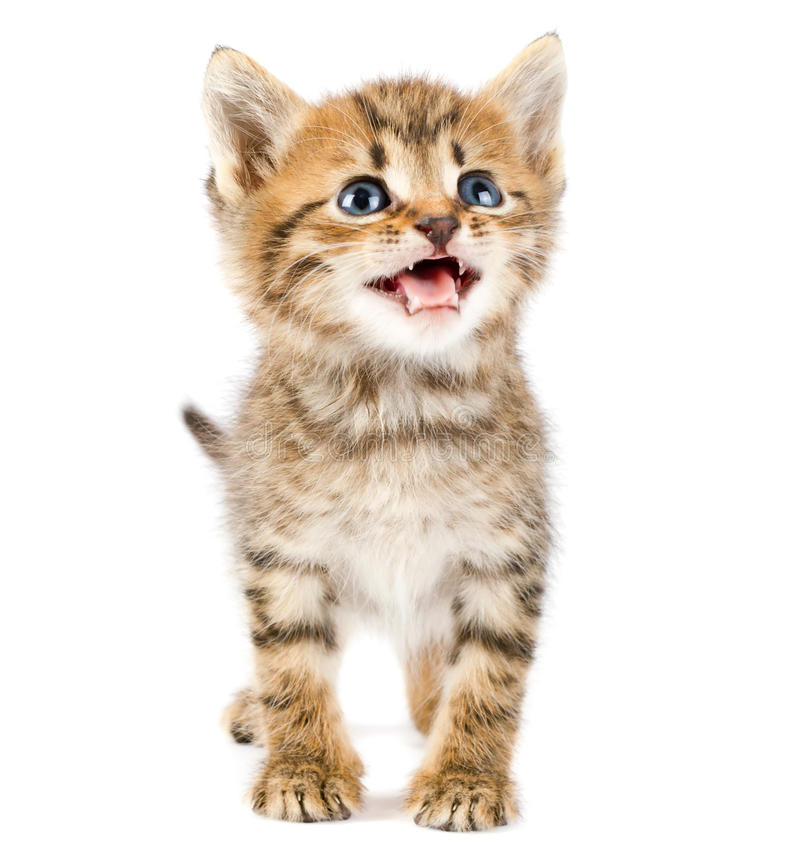 Download Funny kitten stock photo. Image of humor, adorable, animal - 21303530