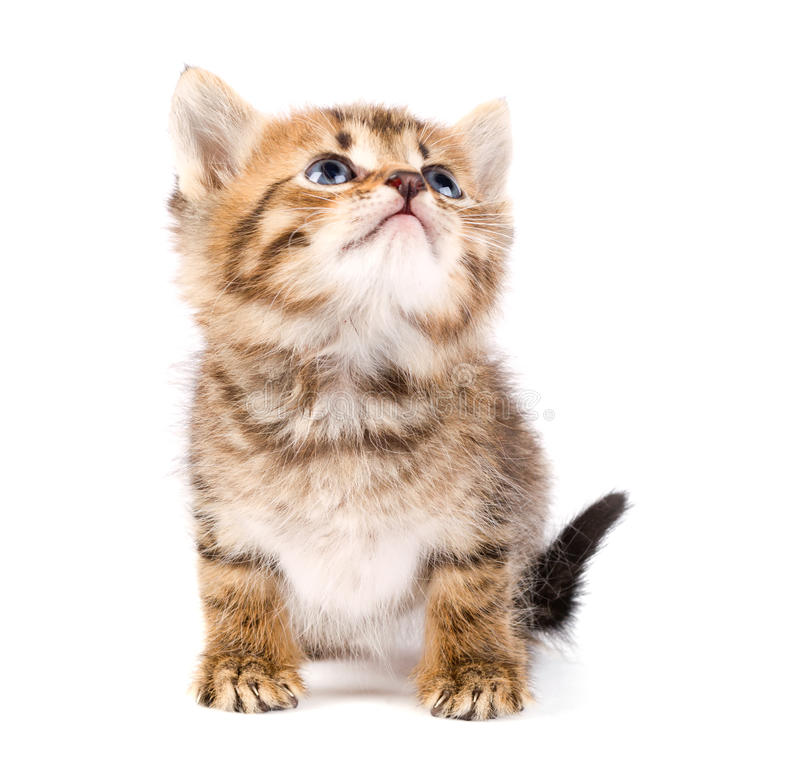 Download Funny kitten stock image. Image of young, siberian, kitten - 21303567