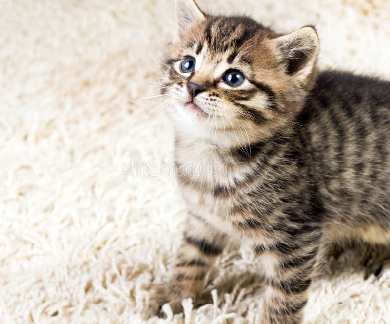 Download Funny kitten in carpet stock image. Image of pedigree - 16535897