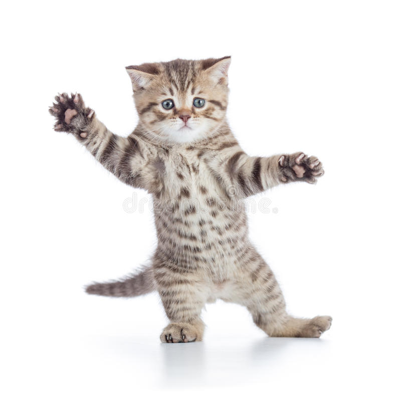 Funny kitten cat standing or dancing isolated royalty free stock images