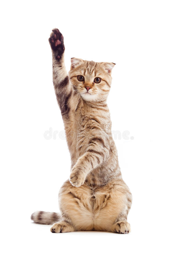 Funny Kitten Pointing Up By One Paw Isolated Stock Photos