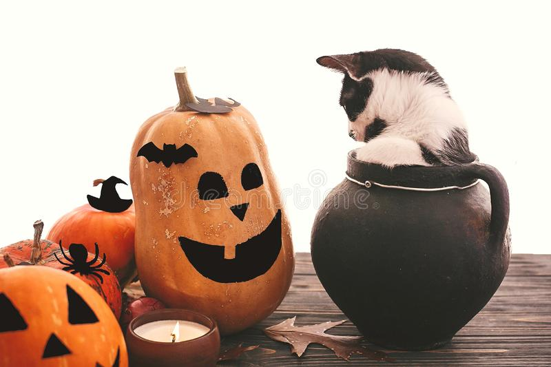 Funny kitten sitting in black witch cauldron with jack o lantern pumpkins, bats, spider and burning candle on dark wood. Happy. Halloween. Trick or treat royalty free stock photography