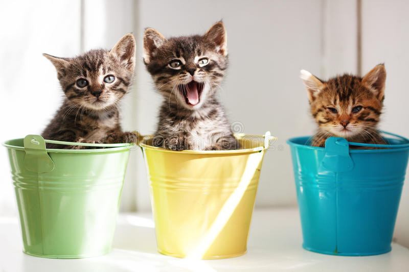 Download Funny kittens stock photo. Image of meow, pedigree, inside - 21405974