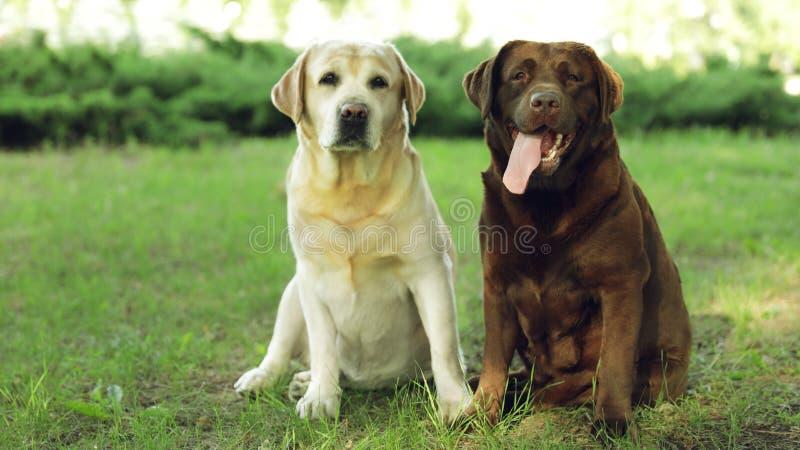 Funny Labrador Retriever dogs in summer park. Funny Labrador Retriever dogs in green summer park stock photos