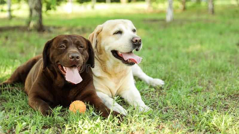 Funny Labrador Retriever dogs with toy ball on green grass. In summer park royalty free stock images