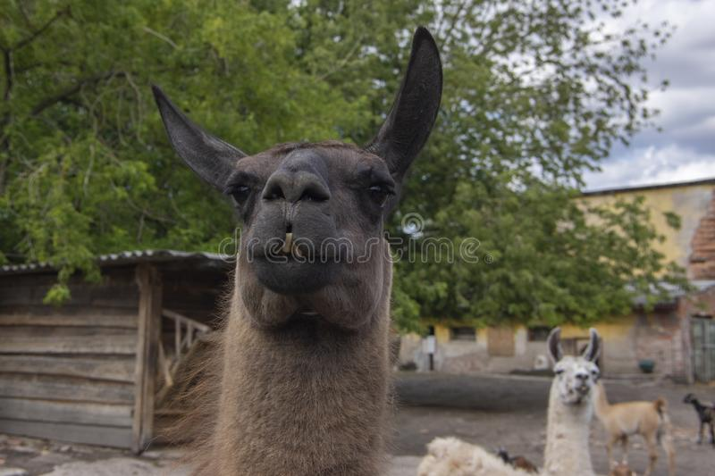Funny lama glama portrait, dark brown hairy animal, funny face expression, outdoors and daylight, sunny day and farm animal royalty free stock photography