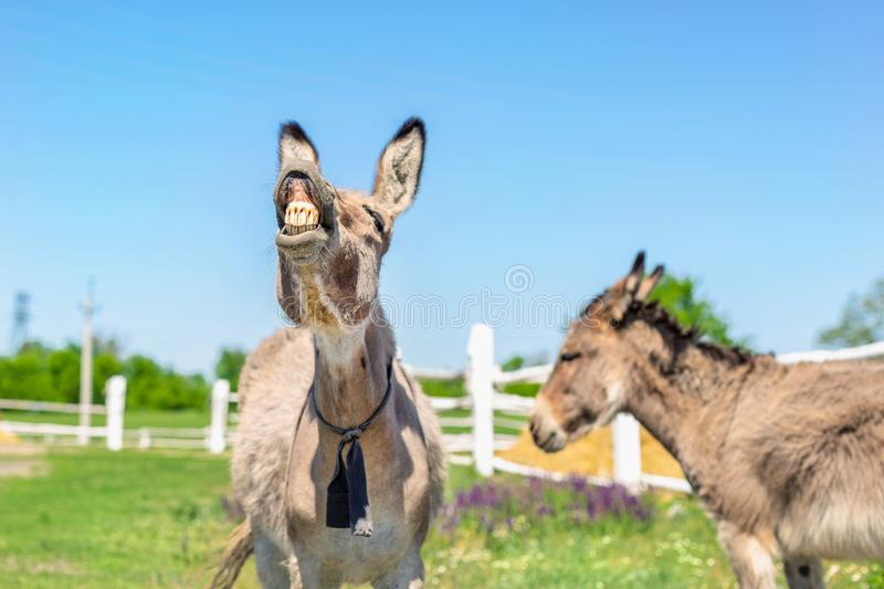 Funny laughing donkey. Portrait of cute livestock animal showing teeth in smile. Couple of grey donkeys on pasture at farm. Humor royalty free stock image