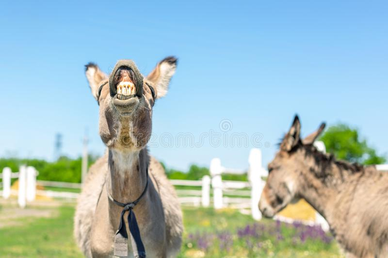 Funny laughing donkey. Portrait of cute livestock animal showing teeth in smile. Couple of grey donkeys on pasture at farm. Humor. And positive emotions concept royalty free stock images