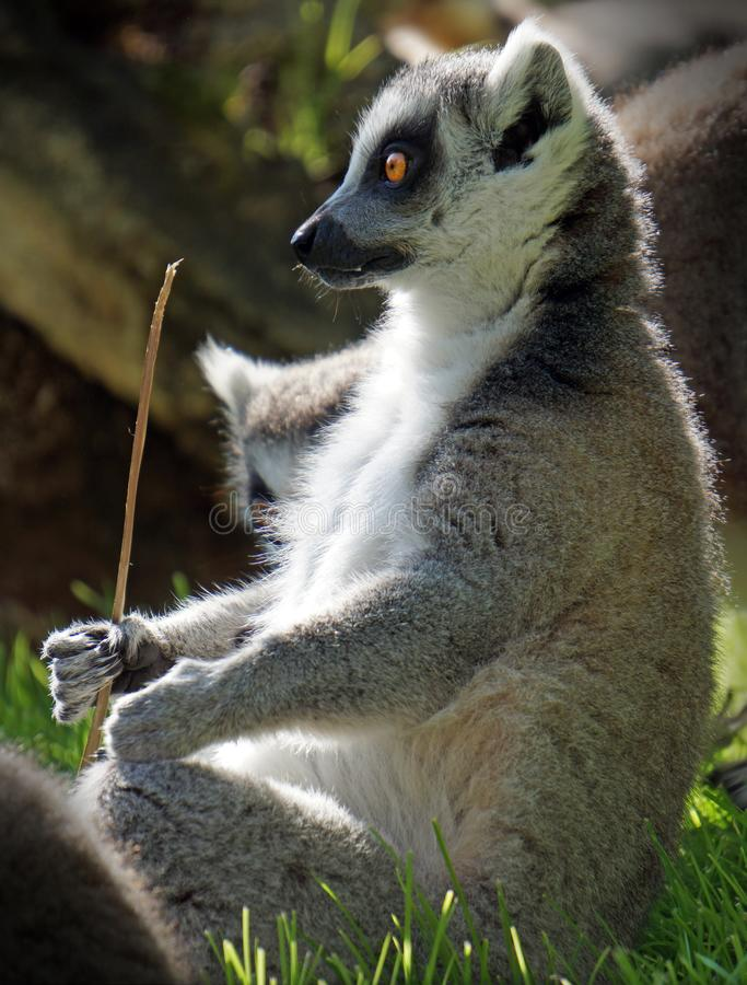 Funny lemur sit in the grass and holds a stick in his paw stock photo