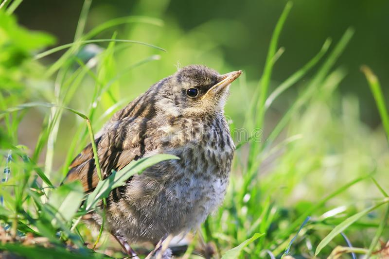 Funny little bird the Blackbird is sitting in the green grass in. The Park and waiting for parents royalty free stock photo