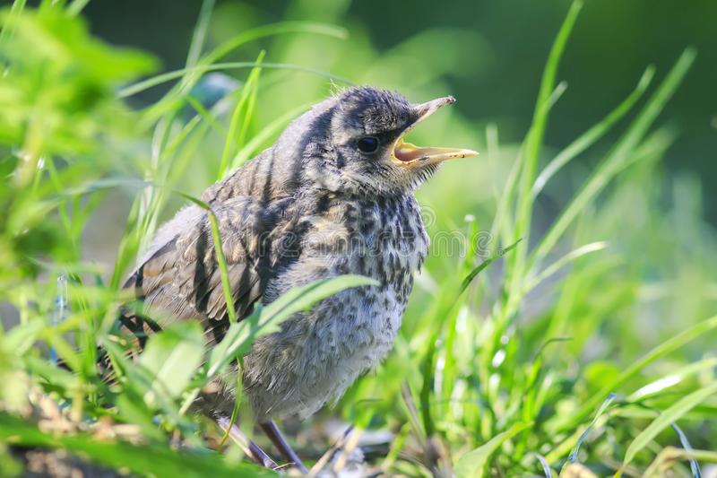 Funny little bird the Blackbird is sitting in the green grass in. The Park and sings a plaintive opening your mouth stock images