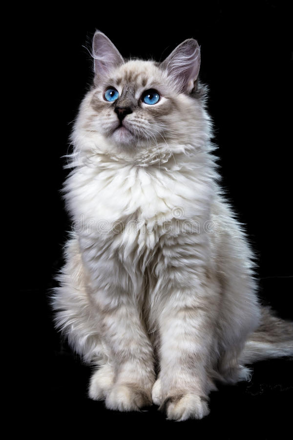 funny little blue-eyed white cat, isolated royalty free stock images
