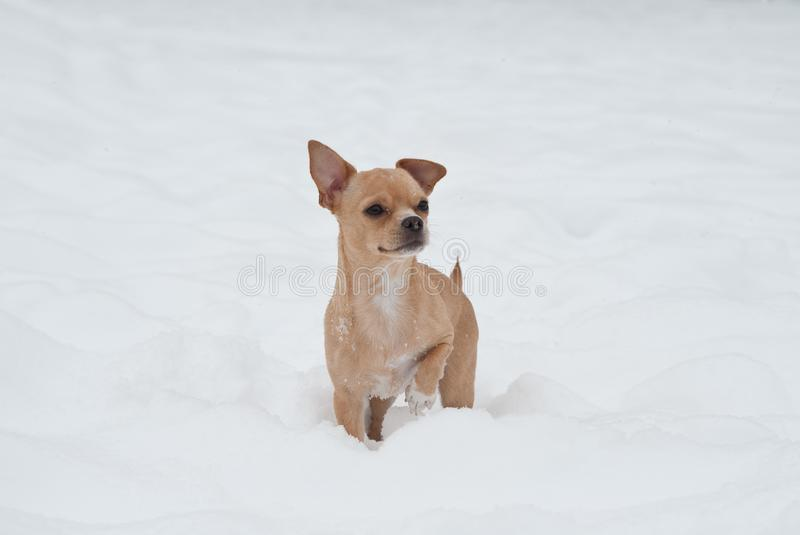 Funny little chihuahua playing on the snow. Small cute dog in a snow royalty free stock images