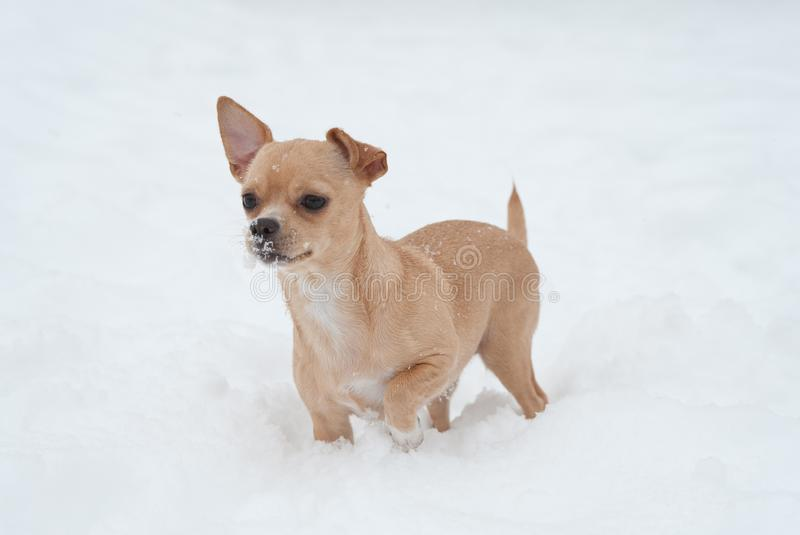 Funny little chihuahua playing on the snow. Small cute dog in a snow stock photography