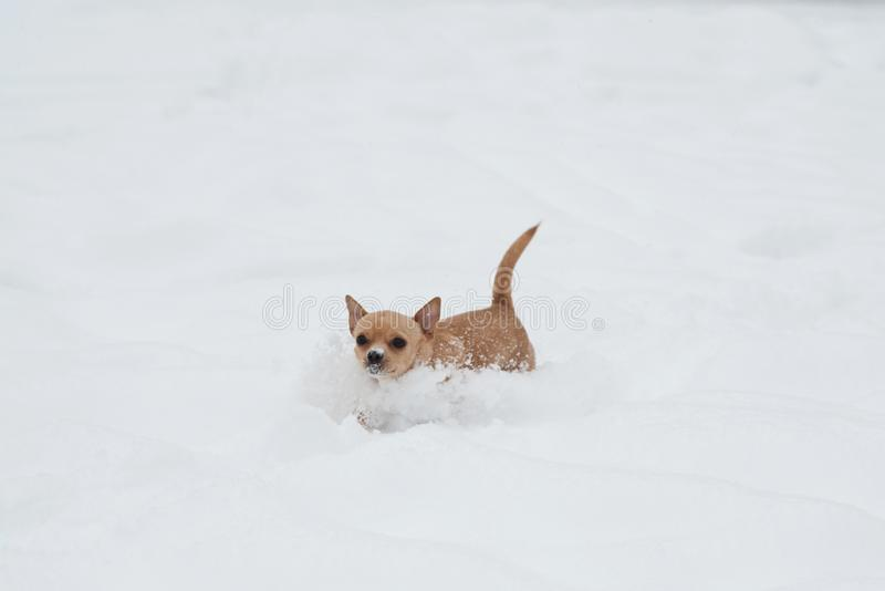 Funny little chihuahua playing on the snow. Small cute dog in a snow royalty free stock photography