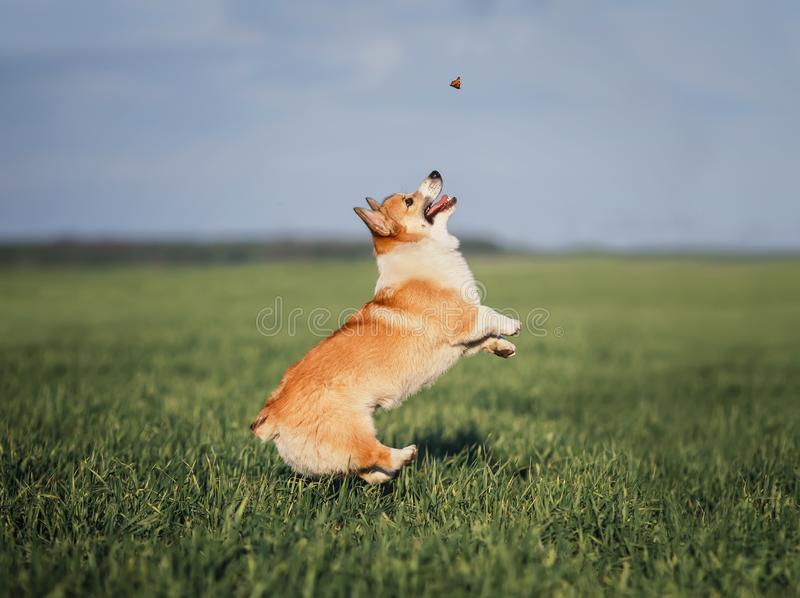 Funny little Corgi puppy runs on a green meadow and jumps after a flying butterfly on a summer glade in the grass. Funny Corgi puppy runs on a green meadow and royalty free stock image
