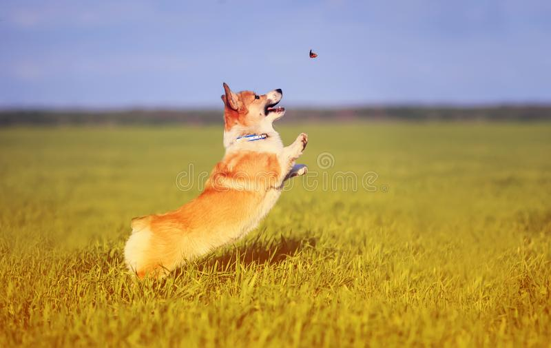 Funny little Corgi puppy runs on a green meadow and jumps after a flying butterfly on a summer glade in the grass. Little Corgi puppy runs on a green meadow and royalty free stock images