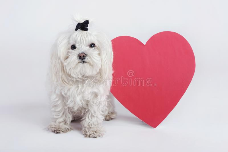 Funny little dog with a heart. At white background stock images