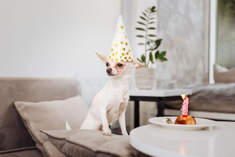 Funny little dog standing near the table with birthday cake. Funny dog. Funny little dog standing on light grey sofa near the table with nice birthday cake stock photography