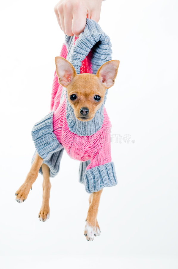 Funny little dog in sweater. Isolated over white background stock photos
