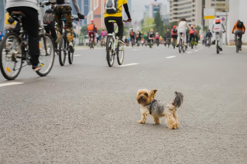Funny little dog watching on Mass bicycle ride in city, marathon. Sport, fitness and healthy lifestyle concept. Abstract royalty free stock image