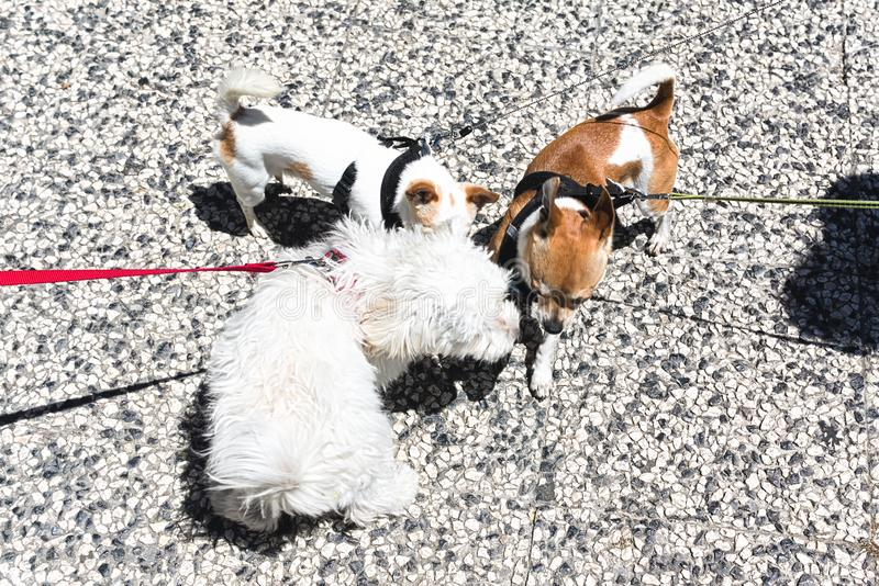 Funny little dogs on a walk. royalty free stock images